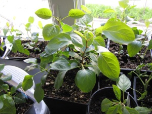 Quelques semis de poires qui ont bien hâte d'être semés en pleine terre